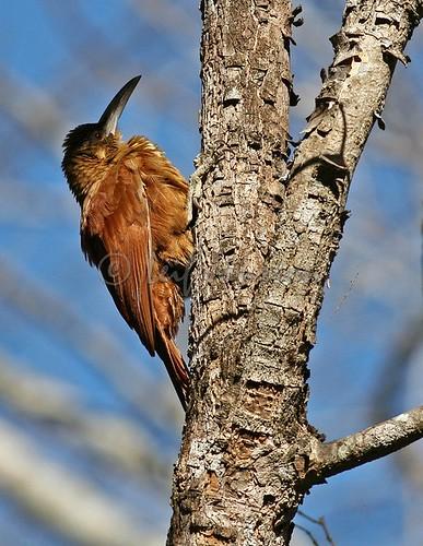 Great Rufous Woodpecker