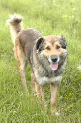 west siberian laika(0.0), czechoslovakian wolfdog(0.0), caucasian shepherd dog(0.0), gray wolf(0.0), irish wolfhound(0.0), east siberian laika(0.0), greenland dog(0.0), wolfdog(0.0), saarloos wolfdog(0.0), dog breed(1.0), animal(1.0), dog(1.0), street dog(1.0), norwegian elkhound(1.0), carnivoran(1.0),