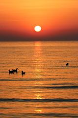 Several sea gulls during an orange sunset