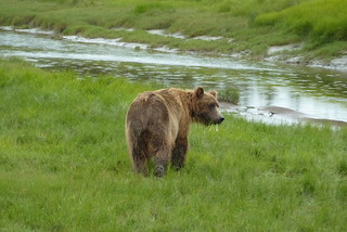 Bär im Lake Clark National Park