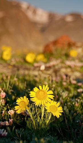 morning flowers summer sunrise colorado raw rockymountainnationalpark trailridgeroad d90 alpinetundra