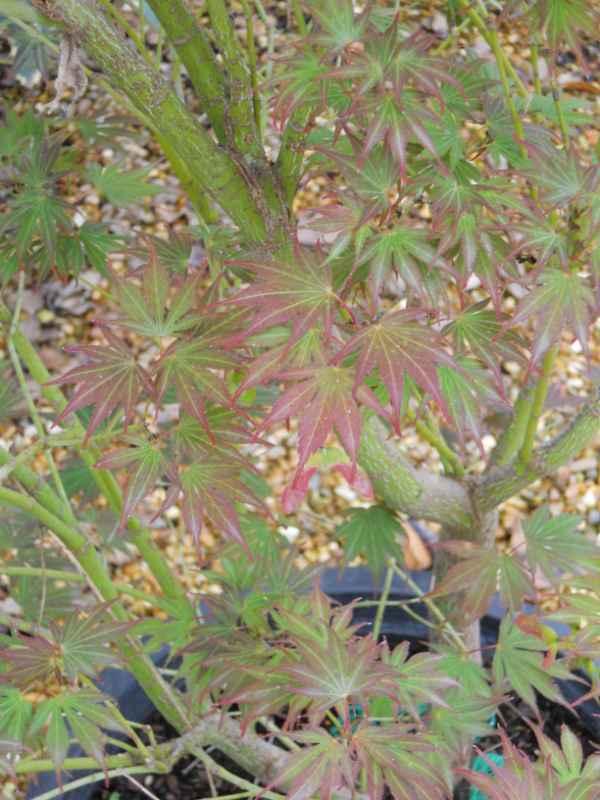 Acer palmatum 'Atropurpureum' v 1.jpg