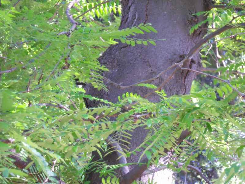 Gleditsia triacanthos 'Sunburst' 2