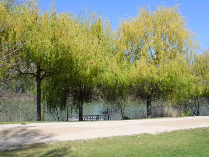 Salix alba 'Tristis' 2