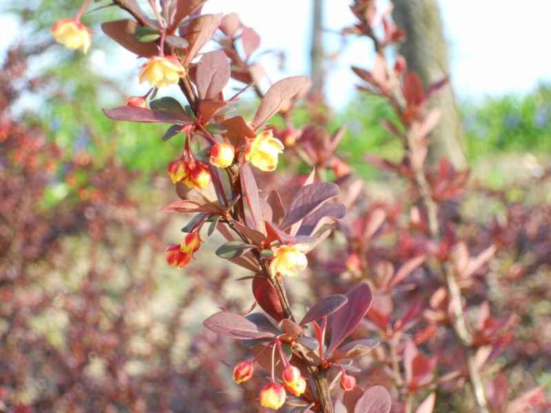 Berberis ottawensis flor 1