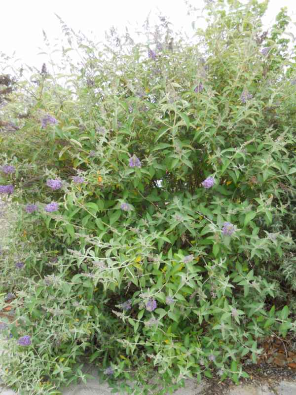 Buddleja davidii 'Fastinating' flor v 3