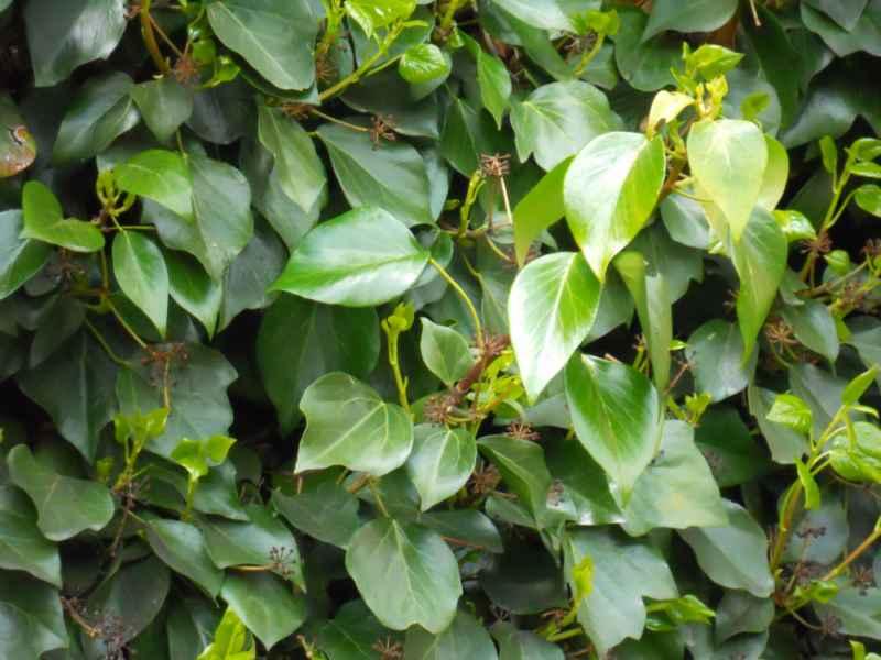 Hedera helix 'Arborescens' 1