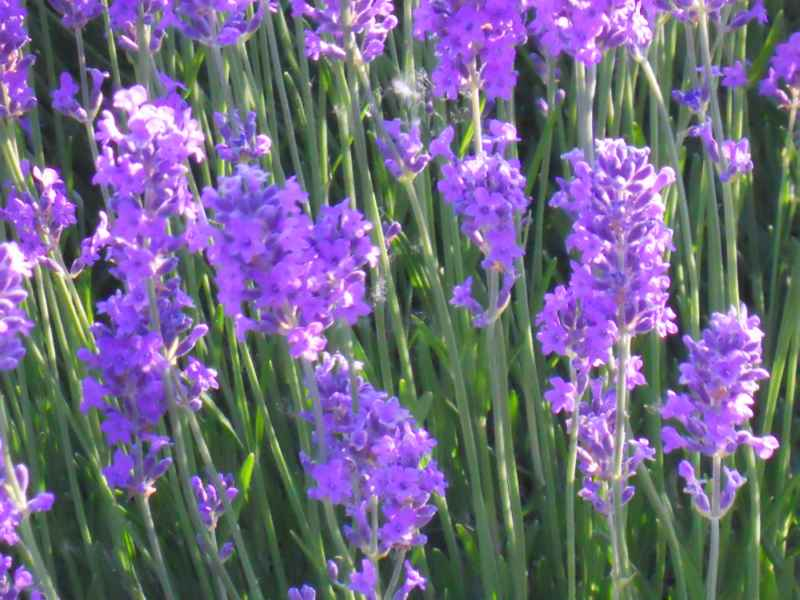 Lavandula officinalis 3