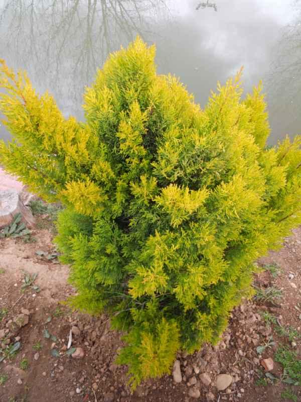 Thuja occidentalis 'Rheingold' v 1