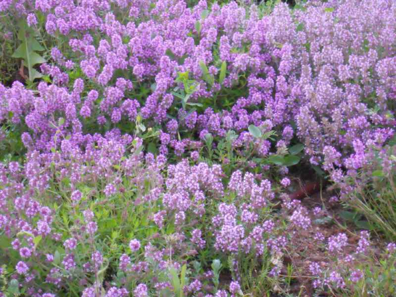 Thymus praecox.. 3