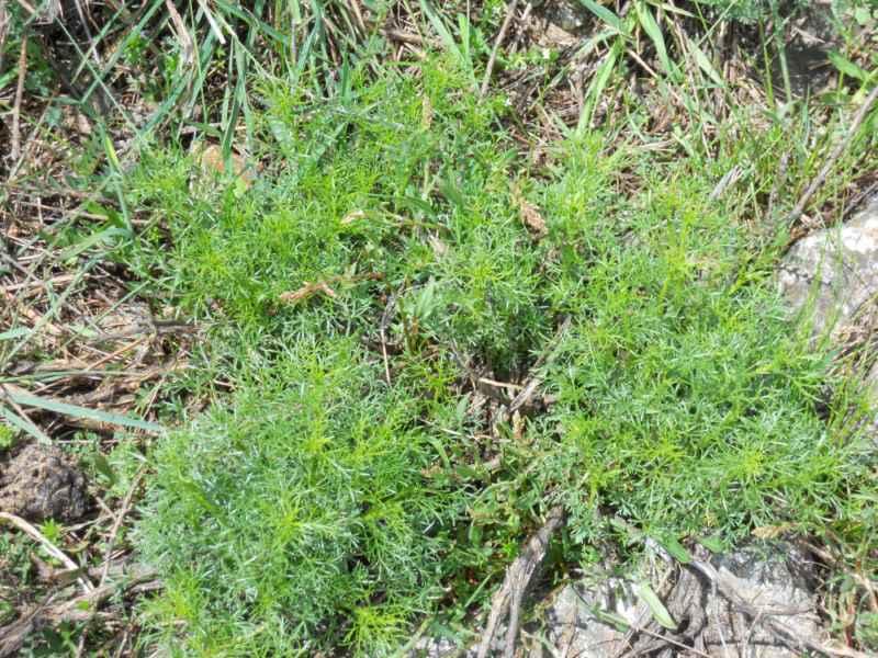 Artemisia arborescens.. 3