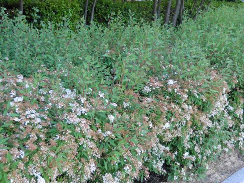 Spiraea japonica seto 4