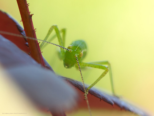 closeup / speckled bush cricket