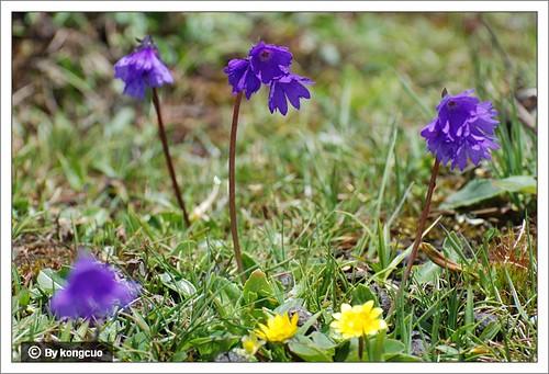 【图】小叶紫荆报春1
