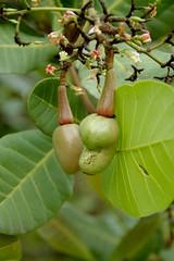 evergreen(0.0), shrub(0.0), hardy kiwi(0.0), tree(0.0), common fig(0.0), coccoloba uvifera(0.0), fruit tree(1.0), flower(1.0), leaf(1.0), plant(1.0), flora(1.0), produce(1.0), fruit(1.0), food(1.0),