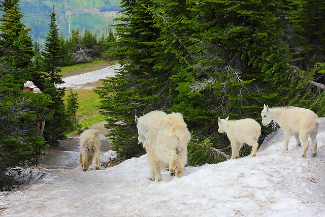 IMG_4649 When Hikers Meet Mountain Goats, Glacier National Park
