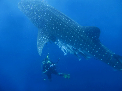 Whale Shark with diver.