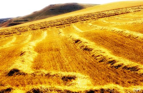 ...campos de oro... by Garbándaras