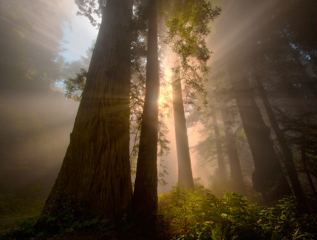 Redwoods California