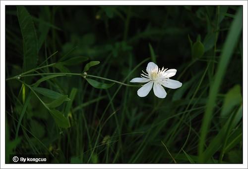 【图】棉团铁线莲