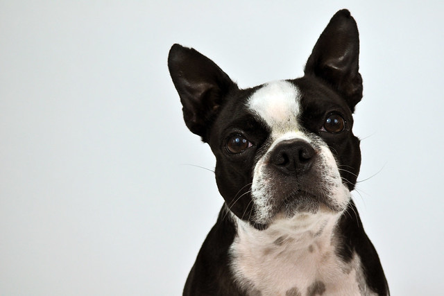 B Is For Boston Terrier Untitled   Explore Pos...