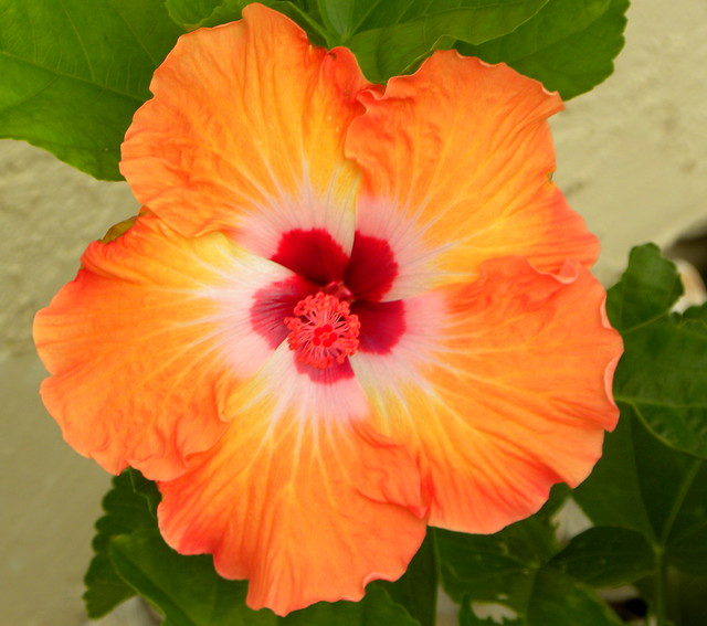 4823519723 500b4ee4cb z jpgOrange Hibiscus Flowers
