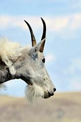 animal, antelope, mammal, horn, goats, fauna, mountain goat, gazelle,