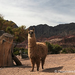 A Friendly Llama All Tied Up - Northwestern Argentina