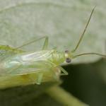 Blepharidopterus diaphanus
