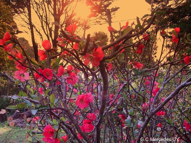 Flor de durazno de jardin 2 flores de un arbusto muy for Arbustos de hoja perenne para jardin