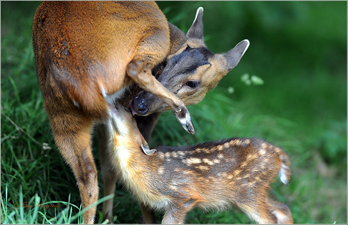 Muntjac doe feeds fawn