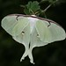 Small photo of American moon moth (Actias luna)