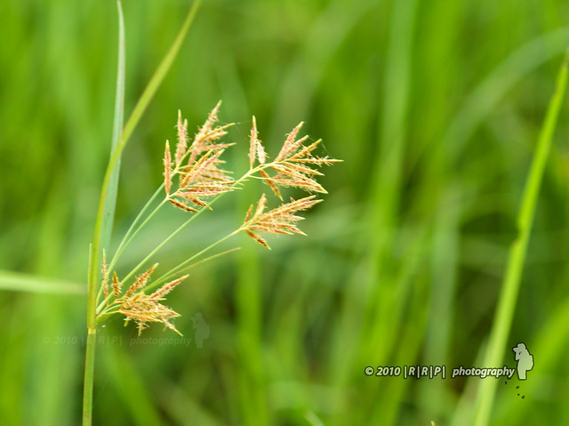 weedy paddy The promotion of the use of certified seed paddy without weedy rice contamination should be the immediate and key step in the implementation of efficient control.