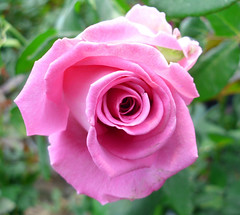 Lilac Rose by José Herrera