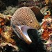 Whitemouth Moray - Photo (c) Silke Baron, some rights reserved (CC BY)