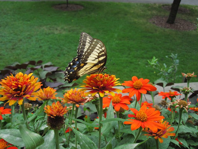 A swallowtail butterfly lands on Zinnea elegans 'Zowie! Yellow Flame' in the Osborne Garden. Photo by Rebecca Bullene.