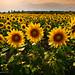 ...sunflowers... by Marcin Mazurkiewicz FotoBlog