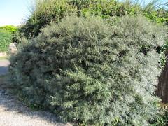 Hippophae rhamnoides hedge