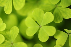 maidenhair tree(0.0), flower(0.0), annual plant(1.0), clover(1.0), leaf(1.0), plant(1.0), macro photography(1.0), herb(1.0), green(1.0), petal(1.0),