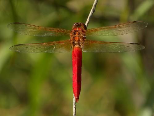 dragonfly atthepark odonata libellulacroceipennis seenonmydailywalk libellulidaefamily maleneonskimmer