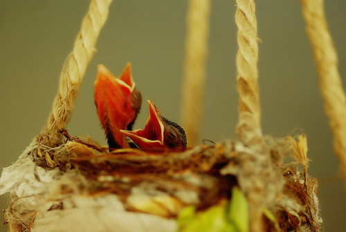 bird birds nest pentax chicks hungry bulbul redventedbulbul k200d