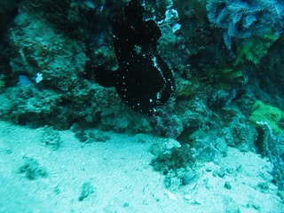 Black frogfish swims (video)