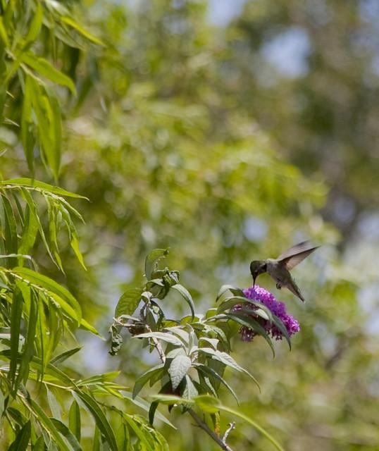 Hummingbird at Kenneth Hahn Park II