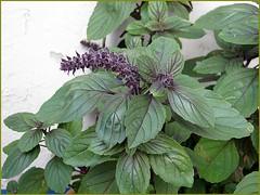 annual plant, flower, leaf, plant, lilac, herb, perilla frutescens, basil,