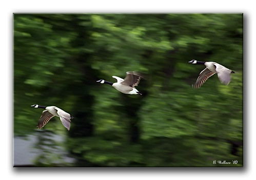 Geese Flying (Regular 2D)