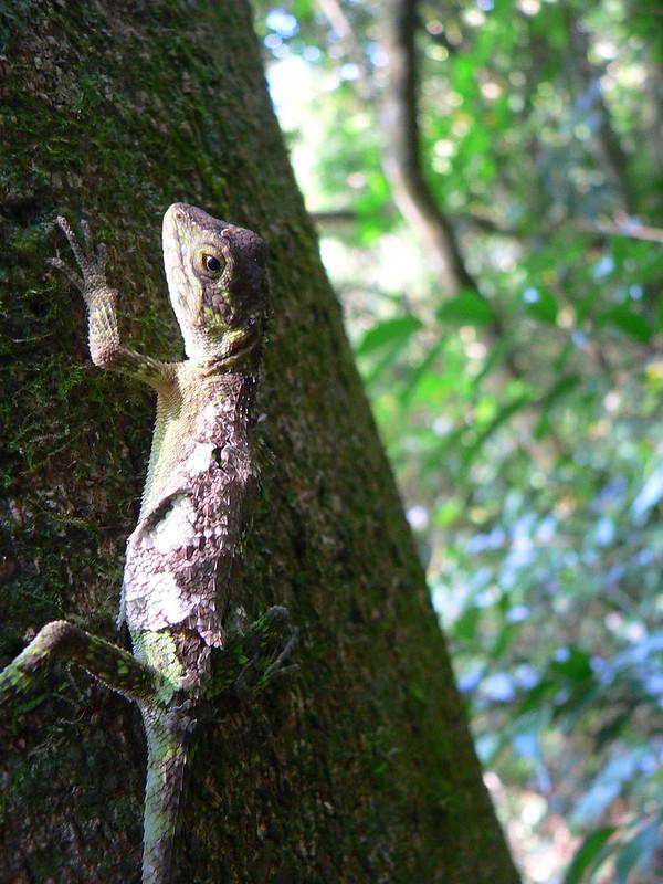 攀木蜥蜴。