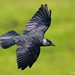 Jackdaw - Orme Fly past