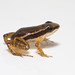 Rainforest rocket frog - Photo (c) Brian Gratwicke, some rights reserved (CC BY)