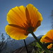 Orange Poppies by raybeth_13