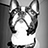 the MY BOSTON TERRIER group icon